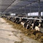 koeien aan het voerhek