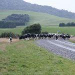 Cattle in Catlins