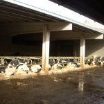 koeien liggen