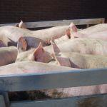 De laatste varkens gaan weg