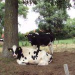 slapende koeien