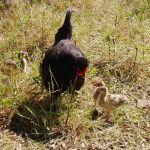 Kip brengt de pauwen groot
