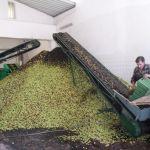olijfolie maken