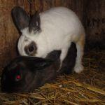 konijnen fokken