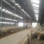 schapenstal