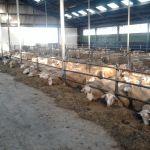schapen op stage