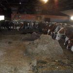 Koeien aan het genieten van hun maaltijd
