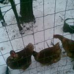 kippen in de sneeuw