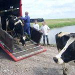 koeien naar nieuw bedrijf