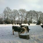Koeien in de sneeuw 3-02-2012