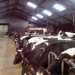 Koeien aan het voerhek.