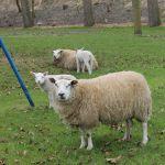 schapen en lammetjes.