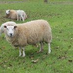 schapen en lammetjes