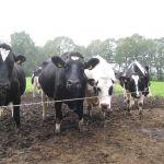 Koeien Najaar 2011