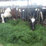 koeien vreten het gras op!
