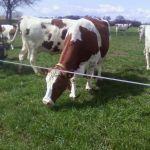 koeien loslaten