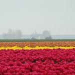 Tulpen staan er mooi bij