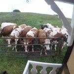 pipo koeien