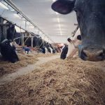 Cows are fed & milked