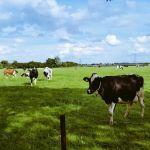 De dames koe zijn weer van de partij in 't weiland voor 't huis