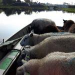 schapen in de boot