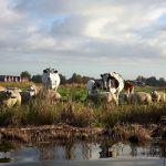 koeien, schapen en kalveren op het vaarland