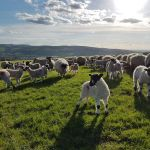 Beautiful evening for shepherding