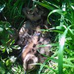 Vandaag meerdere grutto kuikens gezien die nog in het nest lagen